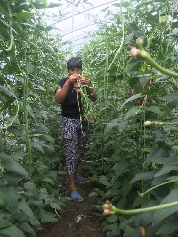 通许县大岗李乡:产业蔬菜大棚 助贫困户增收