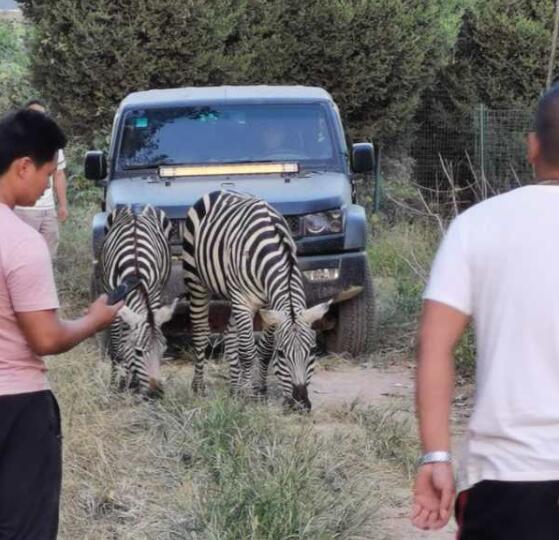 """周口野生动物园5匹斑马""""越狱""""出逃 特警赶赴现场紧急处置"""